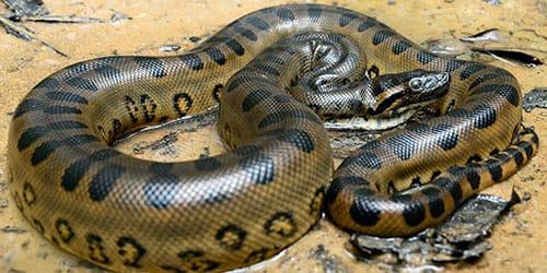 огромная змея во сне