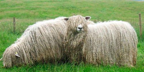 овечка с длинной шерстью