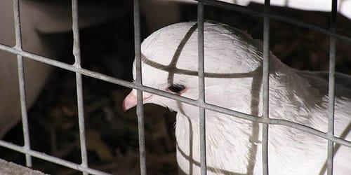 голубь в клетке во сне