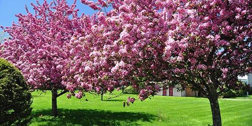 цветущие деревья во сне