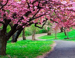 Сонник цветущие деревья