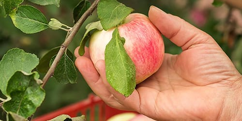 есть яблоко с дерева