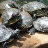 много черепах