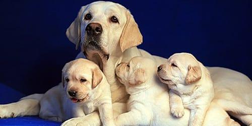 белые щенки возле собаки