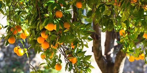 дерево с плодами во сне