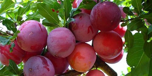 дерево с плодами сливы