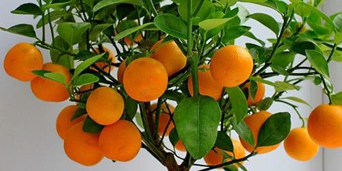 дерево с плодами апельсина