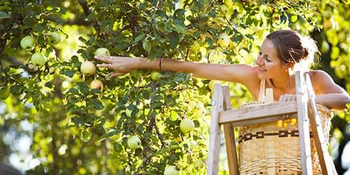 срывать с дерева плоды