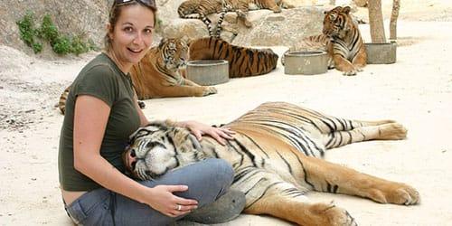 гладить тигра