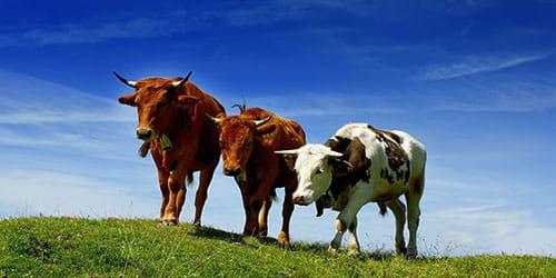 коровы быки во сне