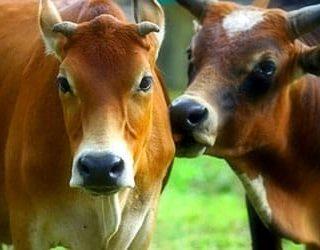 Коровы быки