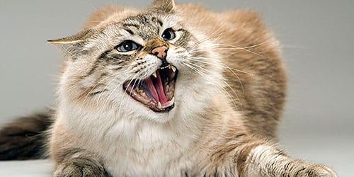 к чему снится кошка царапает