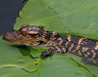 Маленький крокодил