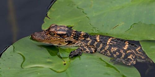 маленький крокодил во сне