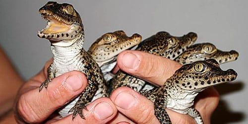 много маленьких крокодильчиков