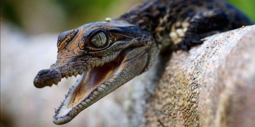 маленький крокодил кусает