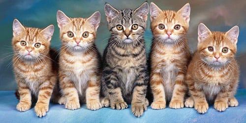 к чему снится много кошек