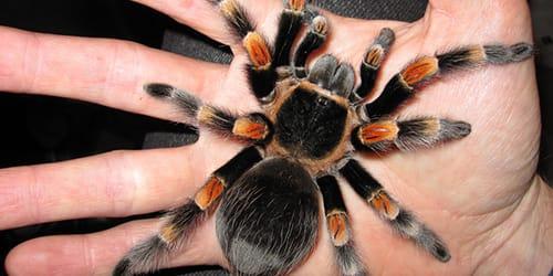тарантул на руке