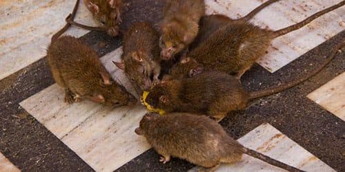крысы ползут