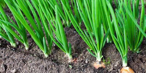 сажать зеленый лук