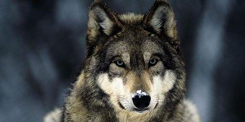 Сонник убить волка к чему снится убить волка во сне