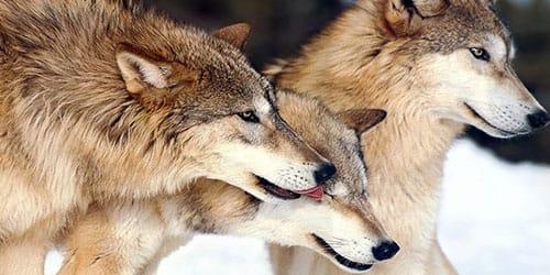 убить несколько волков