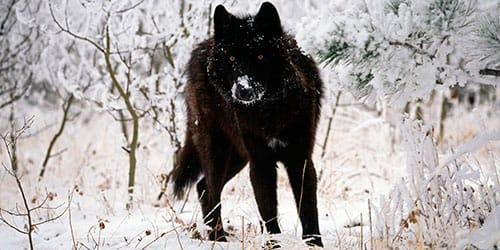 убить черного волка