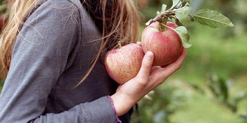 собирать яблоки с дерева