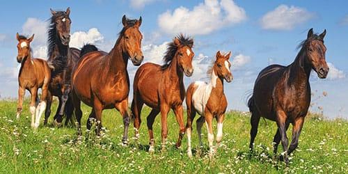 много лошадей