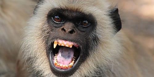 агрессия обезьяны