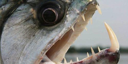 агрессивная хищная рыба