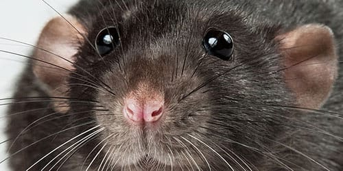 большая крыса во сне
