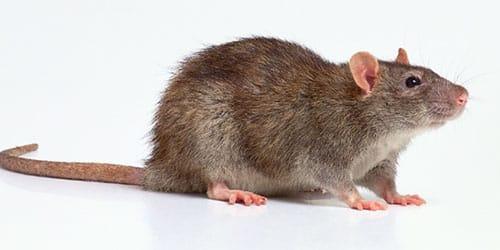 к чему снится большая серая крыса