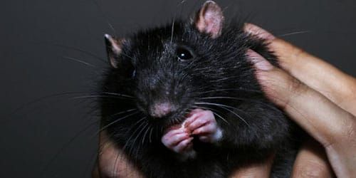 большая черная крыса