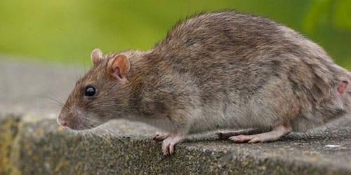 поймать большую крысу