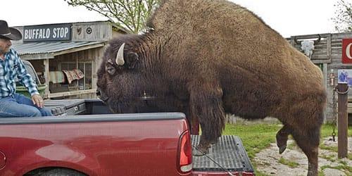 буйвол нападает