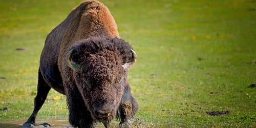 к чему снится буйвол