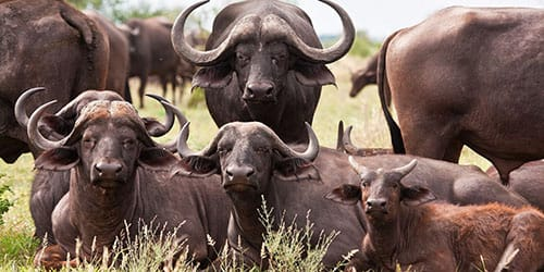 буйволиное стадо
