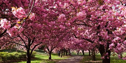 цветущая сакура во сне