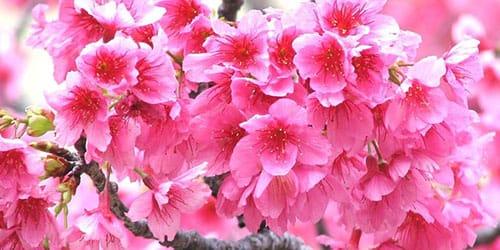 к чему снится цветущая сакура