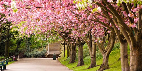 деревья цветущей сакуры