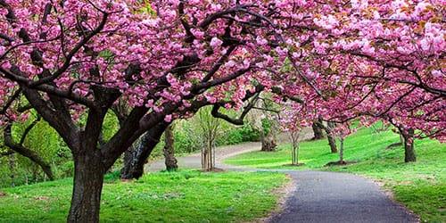 сад цветущей сакуры