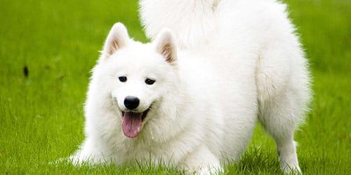 добрая белая собака