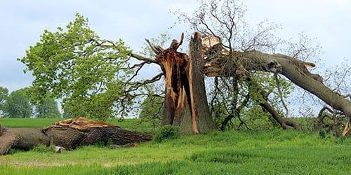 выкорчеванный дуб