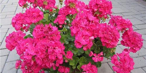 герань розового цвета