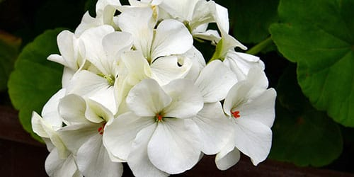 белая герань