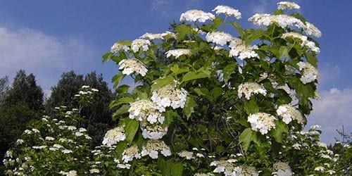 цветущее дерево калины