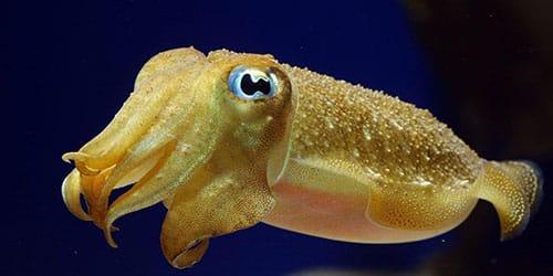живой кальмар