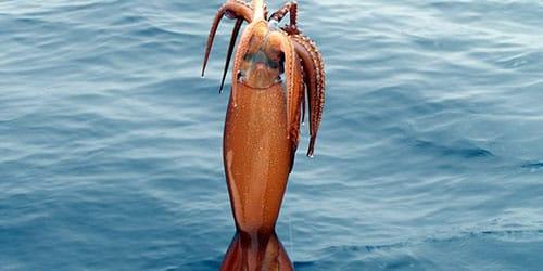 поймать кальмара