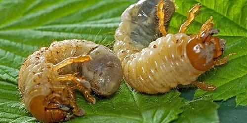 личинки жуков